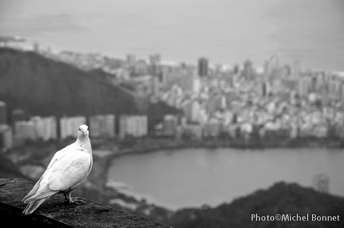 Colombe Baie de Rio